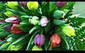 Tulppaanikimppuja Välivainion puutarhasta