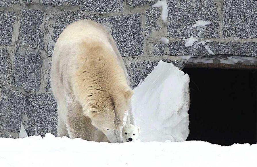 Jääkarhun pentu tutustui ensimmäisen kerran ulkomaailmaan torstaina. Venus-emo oli eläinpuiston henkilökunnan mukaan varsin suojelevainen äiti