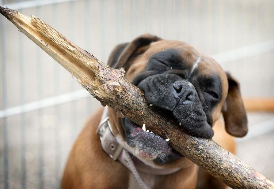 Puunpalat voivat myös aiheuttaa koiran suussa ja kurkussa infektioita.