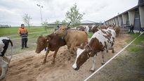 Lehmät kirmasivat kesälaitumelle sorkat viuhuen Muhoksella