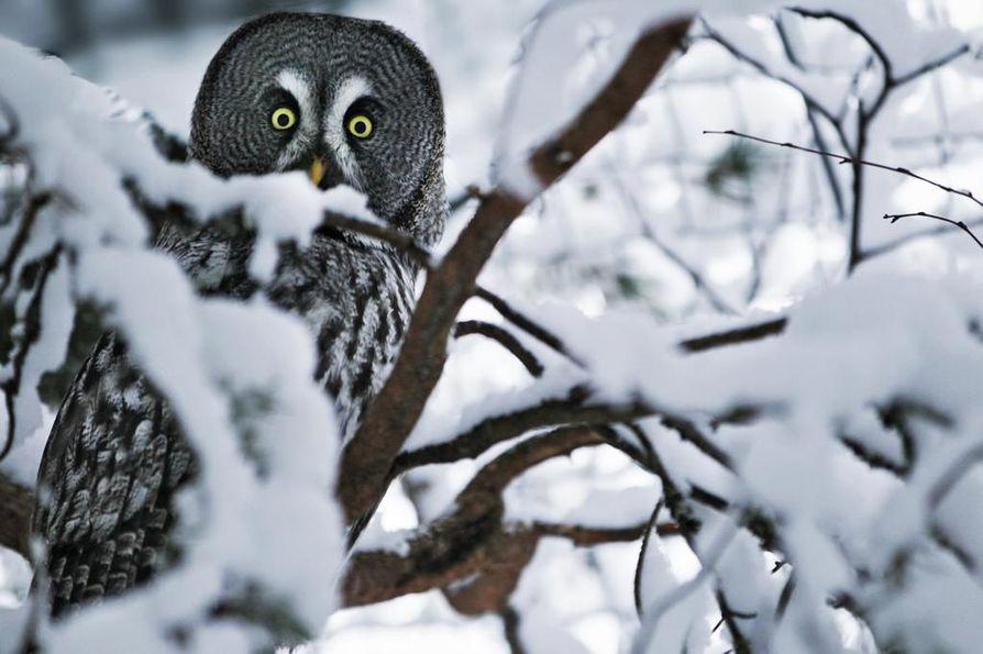 Ilmaston ja elinympäristöjen raju muutos uhkaa arktisia lintulajeja kuten lapinpöllöä.
