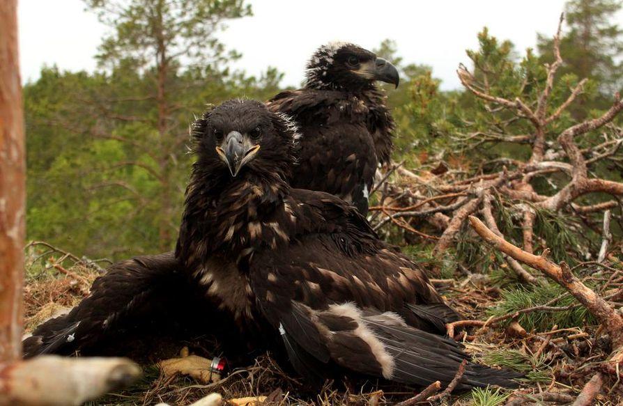 Merikotkan poikaset rengastettiin Oulujärven maisemissa torstaina.