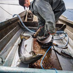 Saadaanko lohen merikalastus kest?v?ksi?