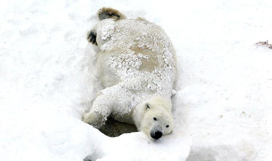 Valeska-jääkarhu muuttaa Ranualta Saksaan Bremerhavenin eläinpuistoon.