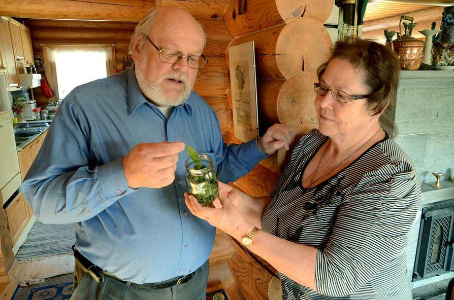 """Tapani ja Marja-Terttu Salminen ovat kasvattaneet steviaa Sotkamon kodissaan jo vuoden ajan. """"Stevia kasvoi viime kesänä ikkunalla ja kasvihuoneessa puolen metrin pensaiksi, joiden lehtiä olemme kuivanneet purkkiin makeutusaineeksi omaan tarpeeseen"""", Tapani Salminen kertoo."""