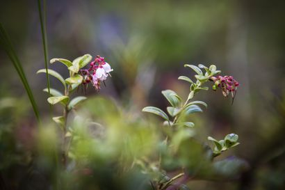 Luonnonmarjojen kukinta lupailee toista hyvää marjavuotta – puolukka kukkii jo kuluvalla viikolla