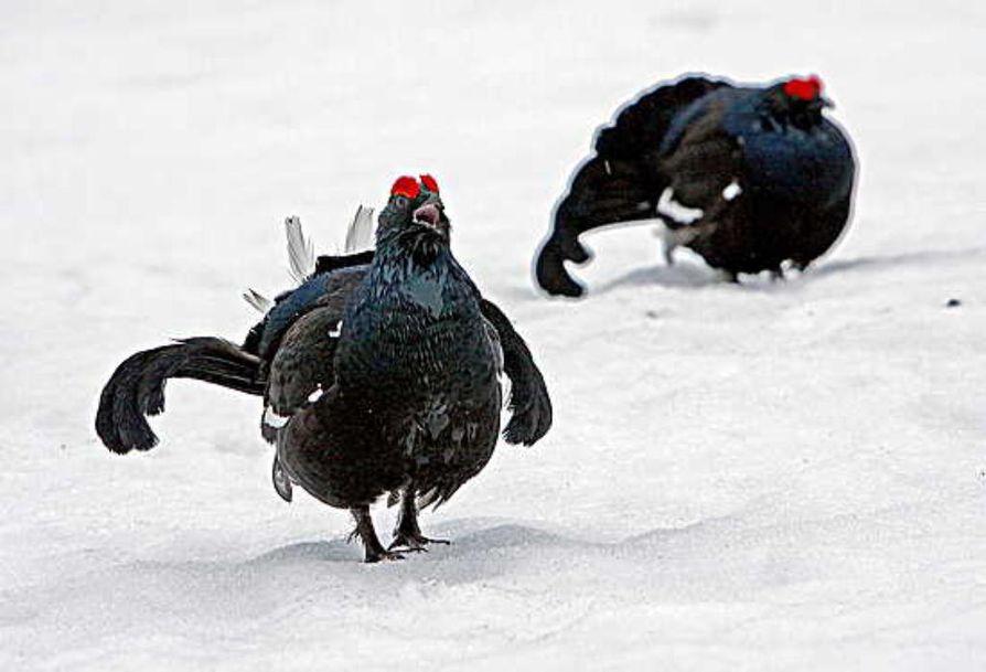 Viime kevään soitimella teeriä melskasi Koillismaalla varsin hyvä määrä. Muutaman kuukauden aikana syksyyn tultaessa oli tapahtunut silmiinpistävä muutos. Aikuisten lintujen määrä oli pudonnut murto-osaan.