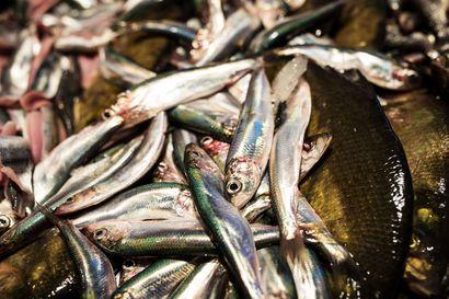 Silakkaa ja särkeä suuhun tonnikalan tilalle – Ministeriö esittää miljoonan euron tukea kotimaisten kalatuotteiden kehittämiseen