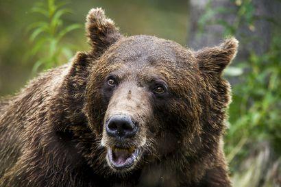 Henkilöauto törmäsi karhuun Pyhäjoen Oulaistentiellä, poliisi varoitti mahdollisesti loukkaantuneesta eläimestä – etsinnät lopetettiin