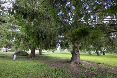 Koskipuiston kuusista alaoksat pois: ei enää suojaa puskapissaajille – myös puiston pihlaja-angervot katkotaan mataliksi