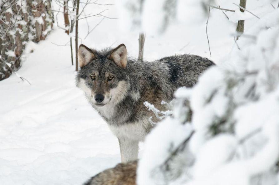 Poliisi epäilee, että Suomeen on salakuljetettu susia Venäjältä. Kuvan susi ei liity tapaukseen.