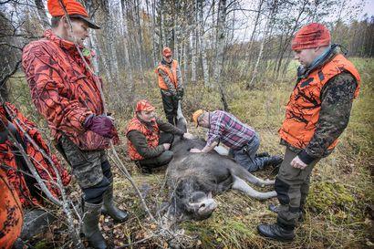 Kuusi hirviporukkaa, noin 160 metsästäjää ja pyyntiluvat 200 hirvelle – Hailuodon hirvenmetsästäjillä on edessään valtava urakka