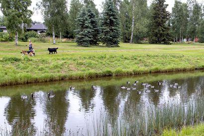 Raahe haluaisi käyttää koiria valkoposkihanhien häädössä – ely-keskukselta ei ole saatu lupaa