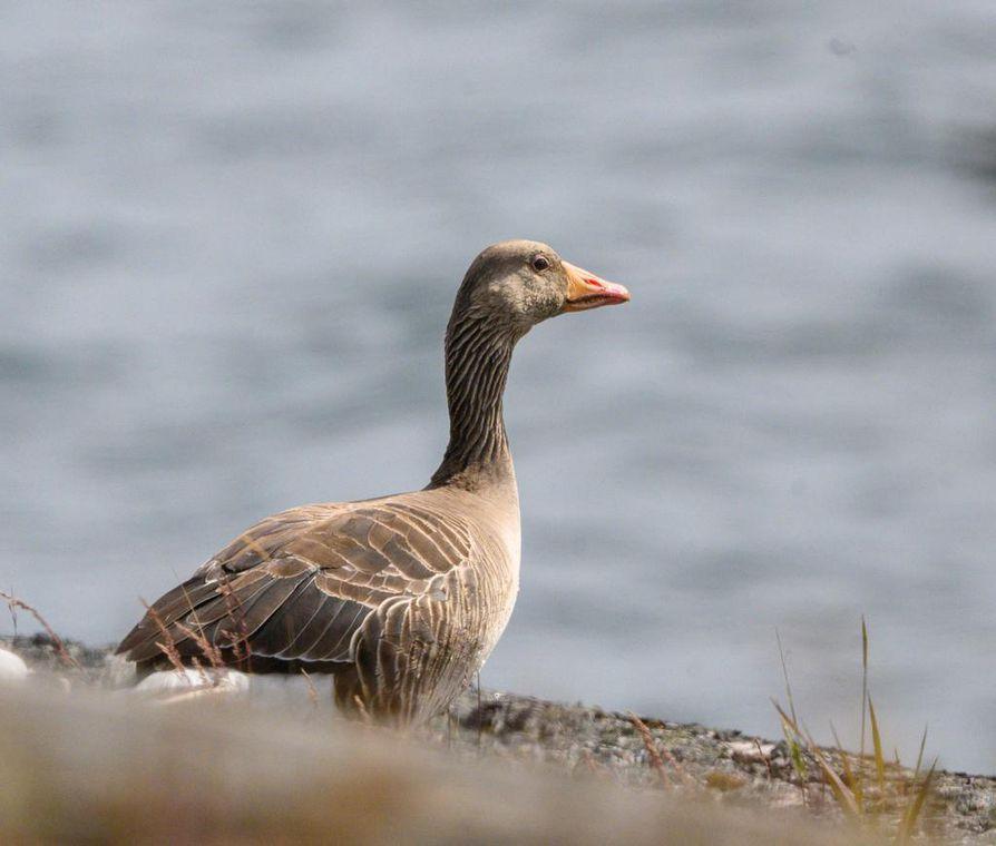 Pohjois-Pohjanmaan lintutieteellinen yhdistys ja BirdLife Suomi vaativat merihanhen metsästyksen rajoittamista.