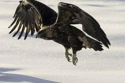 Pohjois-Suomen merikotkalla keskinkertainen pesintävuosi – tunturihaukka jatkaa äärimmäisen uhanalaisena