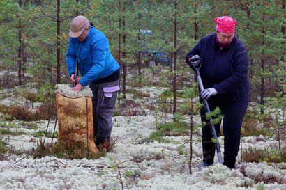 Jäkälää nousee kuin vaahtoa maasta: Poroille lähtee satoja evässäkkejä Alpuasta