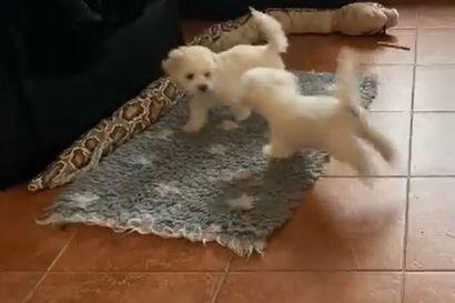 Kalevan koiranpentulive: Katso, mitä valkoisille söpöliineille kuuluu perjantaiaamuna
