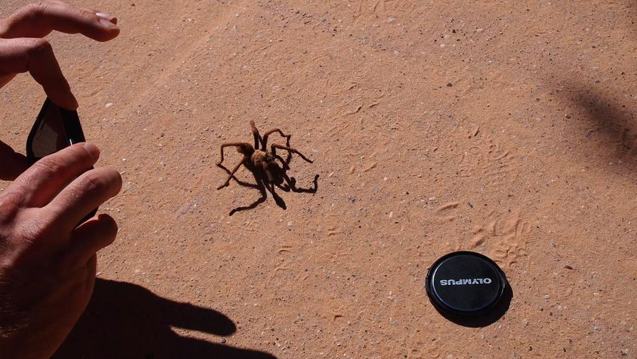 Lintuhämähäkki eli tarantula tallustelee betonipolulla.  .