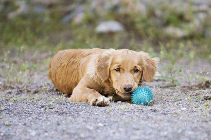 Koiran pito maksaa yli tonnin vuodessa – Pentujen hinnat muutamista satasista 2500 euroon
