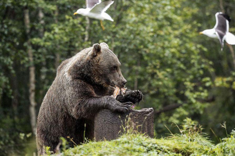 Karhut kaivavat kalanperkeet betonirenkaista. Ratkaisu ei viehätä kaikkia kuvaajia, mutta pitää ympäristön siistimpänä ja luonnontilaisempana, kun kalanrasva ei leviä tukahduttamaan kasvillisuutta.