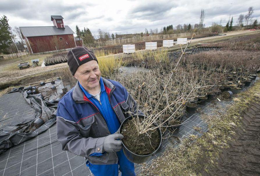 Tyrnävän pottuja uhkaava Y-virus johtuu puutarhakasvi lumipalloheisistä. Kuvassa taimiviljelijä Pentti Lassila.