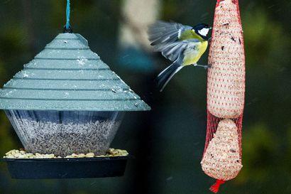 Pakkanen lisää vilskettä Lapin lintulaudoilla – Maakunnassa talvehtii arviolta 20–30 lintulajia