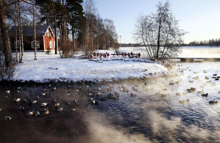 Tammikuun alun vesilintulaskennoissa lasketaan myös kaupungeissa talvehtivat sinisorsat. Arkistokuva Oulusta Laanilan ruokintapaikalta.