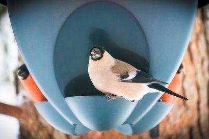 Talvilintujen bongaus järjestetään jo 15. kerran – osallistujan ei tarvitse olla harrastaja eikä kyse ole kilpailusta, vaan lähiluonnon havainnoinnista