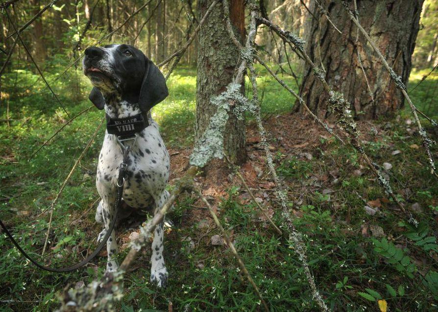 Vihi merkkaa tekemänsä liito-oravan hajuhavainnot istahtamalla paikoilleen. Tämä rauhoittaa vilkasta koiraa sopivasti työn keskellä.