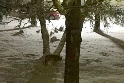 Susi jatkaa yhä kulkuaan Sallan kirkonkylän alueella – eläimestä tehtiin viisi havaintoa yhdessä illassa, somehuhut lietsovat kuntalaisten pelkoa