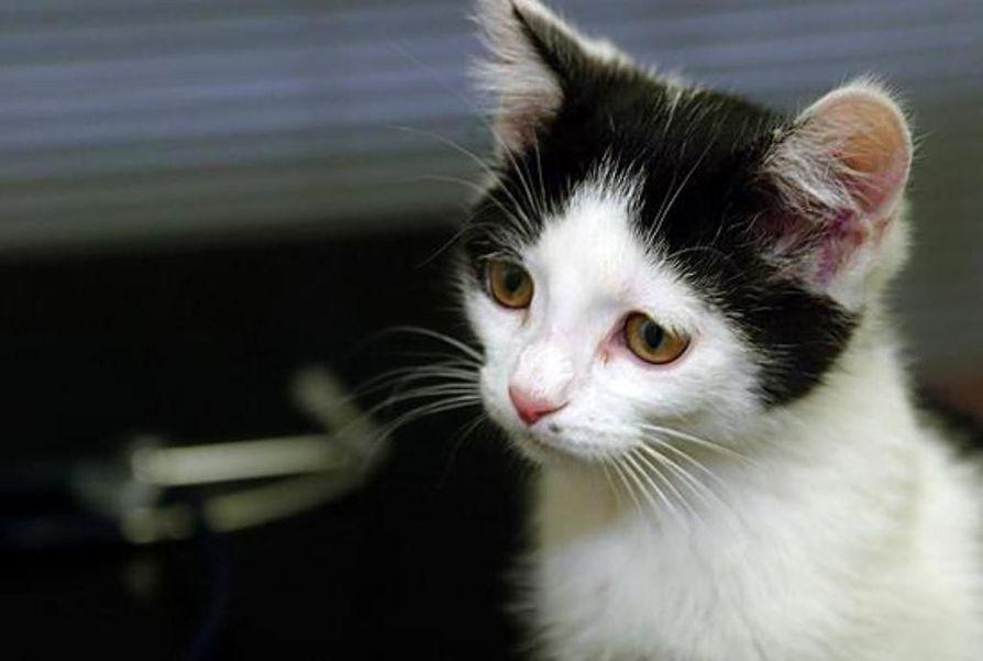 Nuorisojoukko tappoi kissoja Inarissa. Kuvan kissa ei liity tapaukseen.