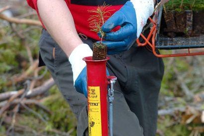 Yli-Iin Kynkäänsuolle istutetaan viisi hehtaaria uutta metsää – entinen turvetuotantoalue muuttuu nuorten käsissä hiilinieluksi