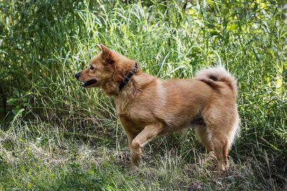 Haukkuvia koiria siirrettävä kotirauhan säilyttämisen vuoksi – Käräjäoikeuden mukaan haukkuminen tyypillistä metsästyskoirille
