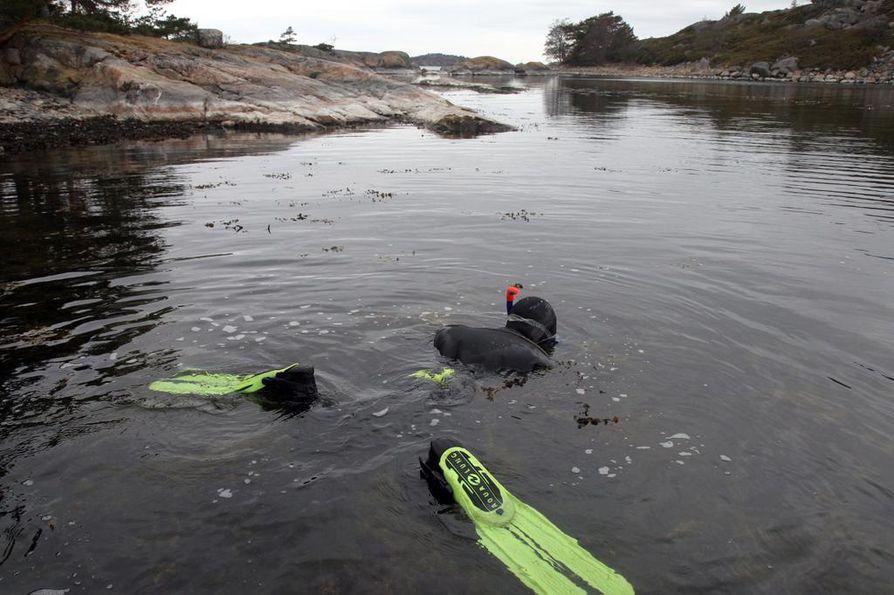 Meriekologit katsovat pintaa syvemmälle. Jormalaisen kollega Fiia Haavisto kerää kuvassa rakkolevää sukeltamalla.