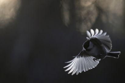 Linnut näyttävät, miten ihmiselle käy – Suomen linnusto on muuttunut dramaattisesti muutamassa vuosikymmenessä
