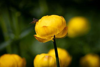 Kesä on täällä – Lukijoiden kuvissa kukkivat kullerot ja veden pinnalta löytyy ufoja