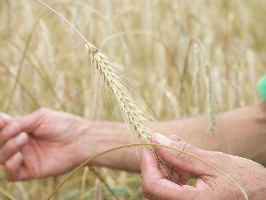 Luomuviljelyn suosio on kasvanut Pohjois-Pohjanmaalla.