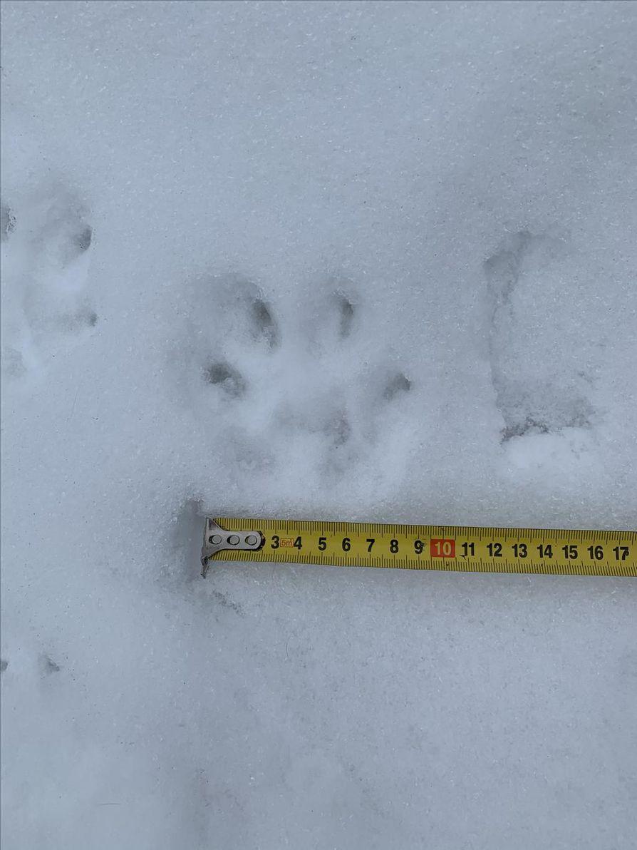 Ilves liikkui Karjasillalla sunnuntaita vasten yöllä ja jätti lumeen isoja tassunjälkiä.