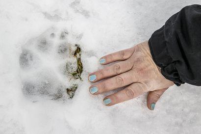 SVT: Pajalassa ammuttiin susi helikopterista – toinen susi liikkuu Kalixin lähistöllä