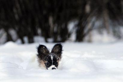 Älä jätä koiraa yksin autoon pakkasella - Jo muutama pakkasaste kylmettää paikallaan olevan auton nopeasti