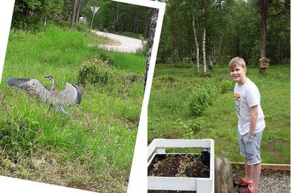 10-vuotias Topi Huhtamella huomasi ison harmaan linnun mansikoiden kasvatuslaatikossa – vieras paljastui harmaahaikaraksi