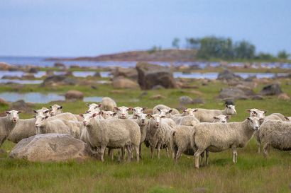 Voimalla 90 lampaan – Pyhäjoen Sunissa voi nyt ihailla avaraa rantamaisemaa