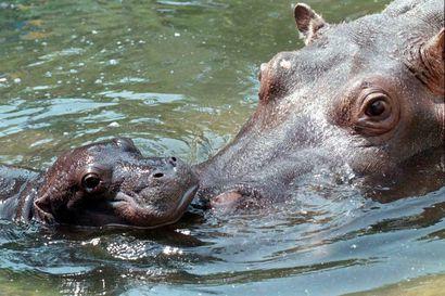 Ranskalaisen eläintarhan vauvavirtahepo pääsi ensimmäisen kerran isoon altaaseen – katso hellyttävä video!