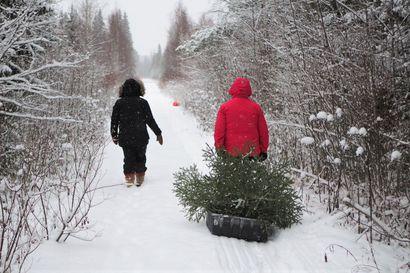 Aiotko hakea joulukuusen valtion mailta? Muista ostaa lupa, äläkä kaada yli kolme metriä korkeaa kuusta
