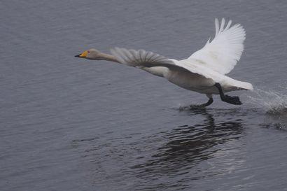 Joutsen juuttui kalaverkkoonNaamankajärvellä– pelastuslaitos joutui lopettamaan linnun