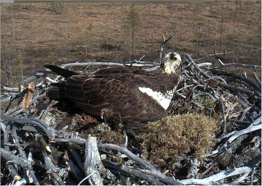 Paltamon sääksikamerasta voi seurata lintujen pesintää.