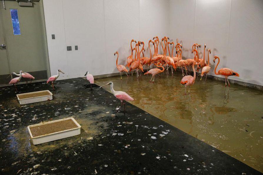 Flamingoja evakuoitiin miamilaisessa eläintarhassa sisätiloihin ennen hurrikaanin saapumista.