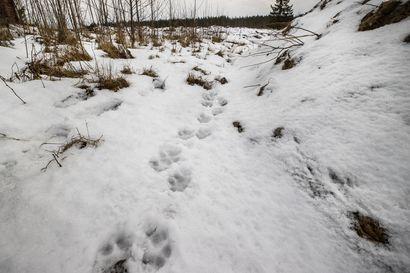Suomen susikanta on kasvussa –Dna-analyyseissä ei löytynyt viitteitä koirasusista