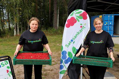 4H-yhdistys ostaa marjoja Pudasjärven keskustassa – avajais-aamuna ehti tulla jo 450 kiloa puolukkaa