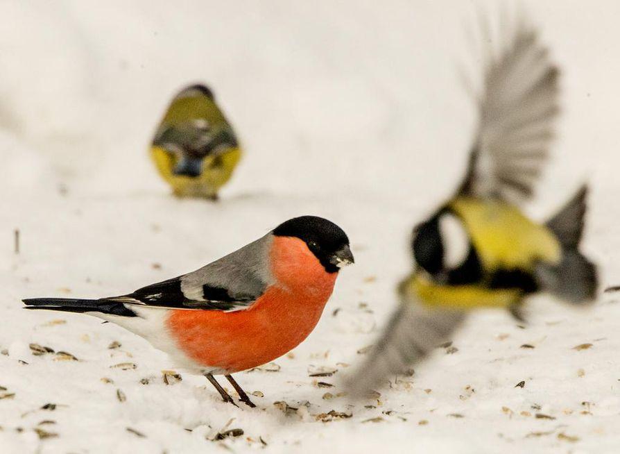 Taudit leviävät talvisin ruokintapaikoilla, kun niille kerääntyy runsaasti lintuja.